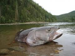 Таймень – желанная и недоступная добыча для многих рыбаков. Так как щучий лосось встречается в основном только в сибирских реках, поймать его в других местах – шансы очень маленькие