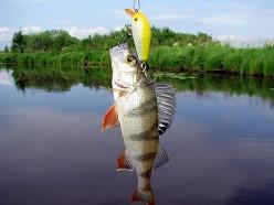 Ловля окуня считается одним из самых увлекательных занятий для рыбака