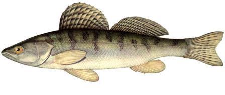 Берш - это рыба, которую рыболовы постоянно путают с судаком