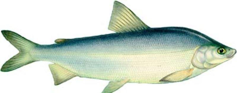 В России муксун обитает в реках Сибири, озерах п-ова Таймыр, опресненных устьях рек, впадающих в Северный Ледовитый океан