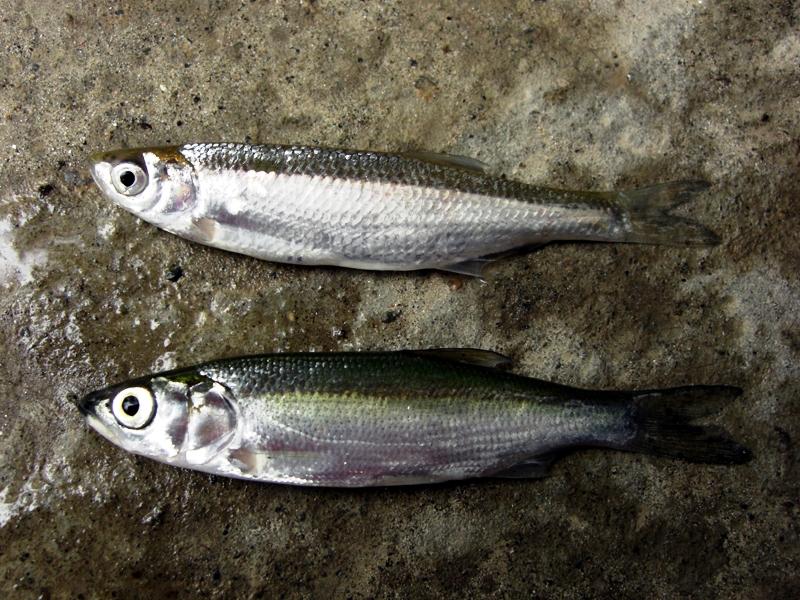 Консервация рыбы на зиму рецепты с фото подобных случаях